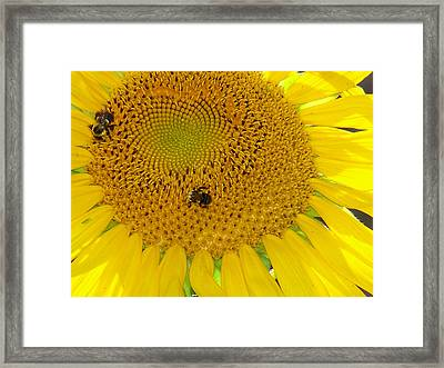 Framed Print featuring the photograph Bees Share A Sunflower by Sandi OReilly