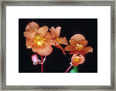 Begonia Buddies Framed Print by Laurie Paci