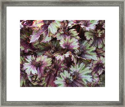 Begonia Raspberry Swirl Framed Print by Tim Gainey