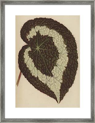 Begonia Rex Framed Print