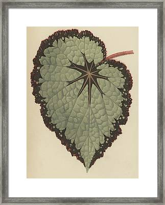 Begonia Rex, Variety Isis Framed Print by English School
