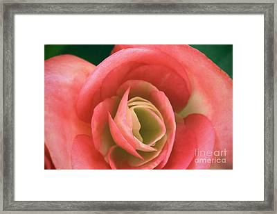 Begonia Rose Framed Print