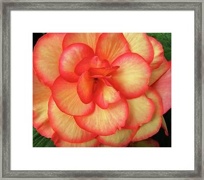 Begonia No. 1 Framed Print