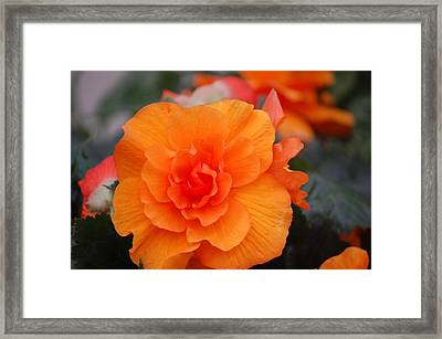 Begonia Sunrise Framed Print