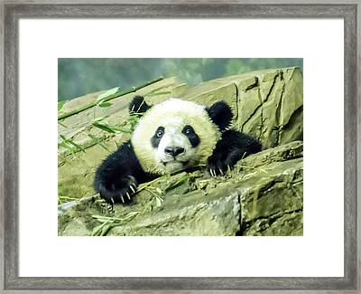 Bei Bei Panda At One Year Old Framed Print