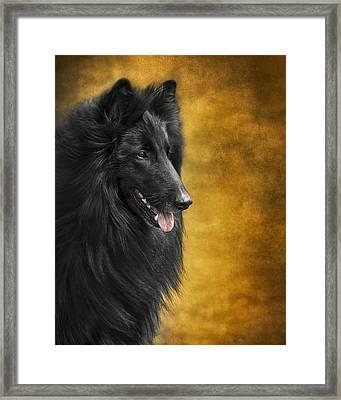 Belgian Sheepdog Portrait Framed Print by Wolf Shadow  Photography