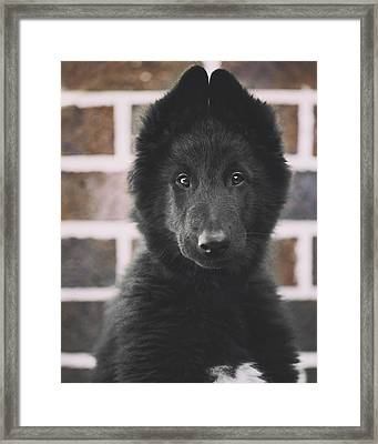 Belgian Sheepdog Puppy Portrait Framed Print by Wolf Shadow  Photography