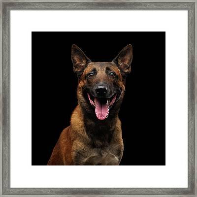 Belgian Shepherd Dog Malinois Framed Print