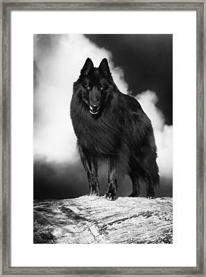 Belgian Shepherd Groenendael  3 Framed Print
