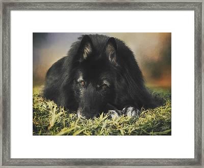 Belgian Shepherd Groenendael  Portrait 13 Framed Print by Wolf Shadow  Photography