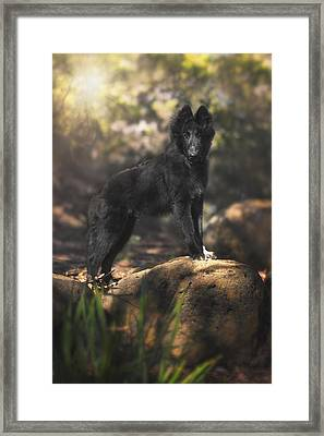 Belgian Shepherd Puppy In The Woods Framed Print by Wolf Shadow  Photography