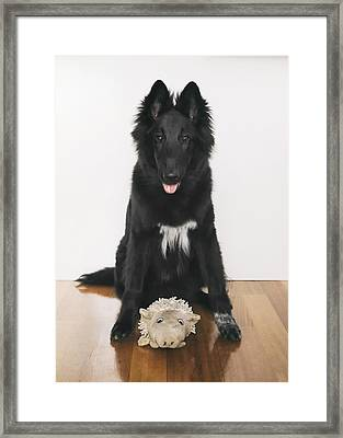 Young Belgian Shepherd Posing With Toy Framed Print