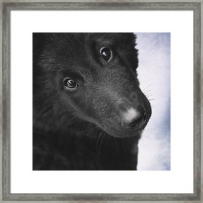 Belgian Shepherd Puppy Framed Print by Wolf Shadow  Photography
