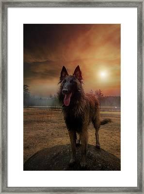 Belgian Shepherd Framed Print