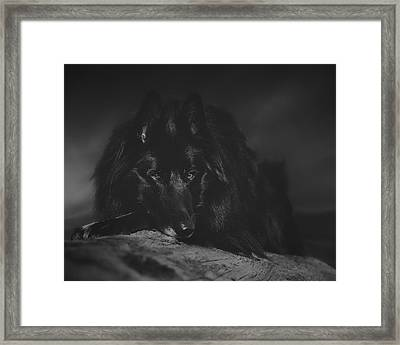 Belgian Shepherd Artwork 10 Framed Print by Wolf Shadow  Photography