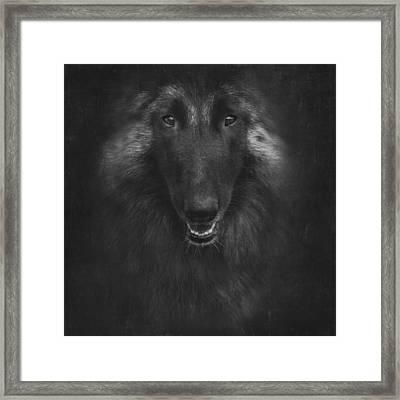 Belgian Tervuren Artwork 2 Framed Print by Wolf Shadow  Photography