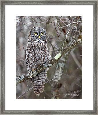 Believe- Great Gray Owl Framed Print by Lloyd Alexander