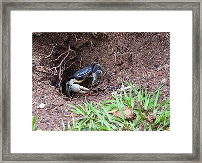 Belize Crab Framed Print