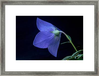 Bell Flower From Behind Framed Print by Douglas Barnett