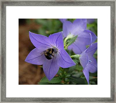Bellflower And Bee  Framed Print