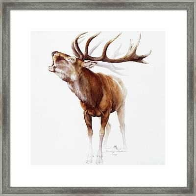 Belling Stag Watercolor Framed Print by Attila Meszlenyi