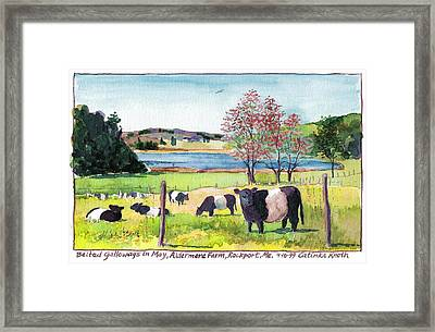Belted Galloway Art  Maine Cows In May Framed Print by Catinka Knoth