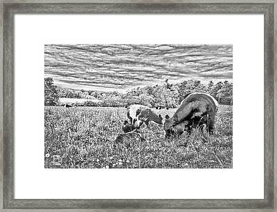 Belted Galloway Beef Cattle Framed Print