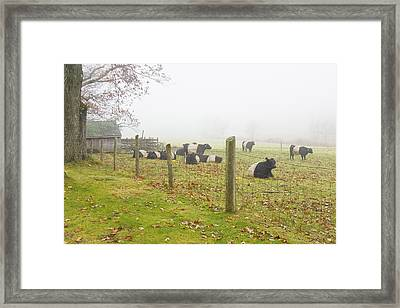 Belted Galloway Cows Farm Rockport Maine Photograph Framed Print