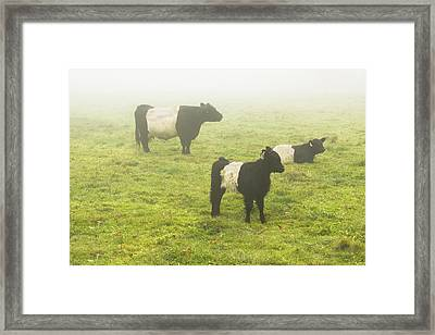 Belted Galloway Cows Grazing  In Foggy Farm Field Maine Framed Print