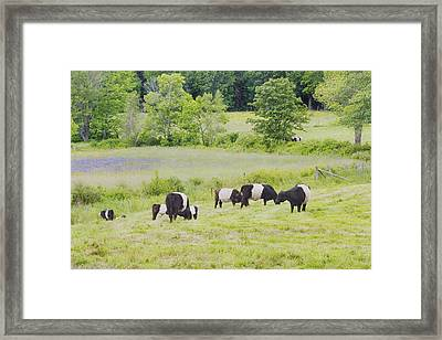 Belted Galloway Cows Rockport Maine Poster Prints Framed Print by Keith Webber Jr