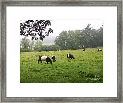 Belted Galloways 2 Framed Print by Linda Drown