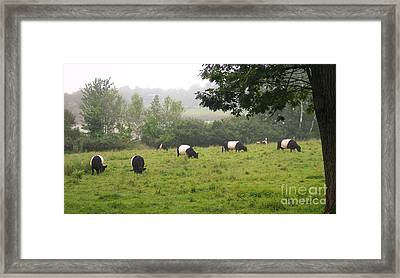 Belted Galloways In Field Framed Print by Linda Drown