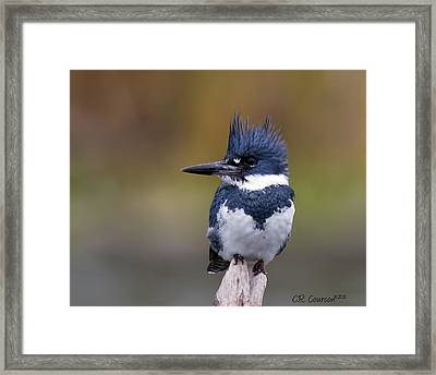 Belted Kingfisher Framed Print by CR  Courson