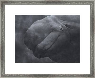 Beluga Face To Face Framed Print