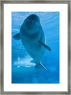 Beluga Whale In A Marine Park, Ontario Framed Print by Darwin Wiggett