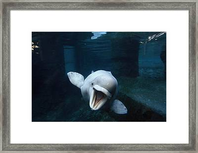 Beluga Whale Swimming With An Open Framed Print