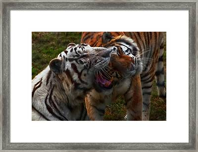 Framed Print featuring the photograph Bengal Tiger And White Bengal Tiger by Chris Flees