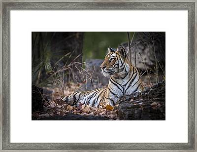 Bengal Tiger Framed Print