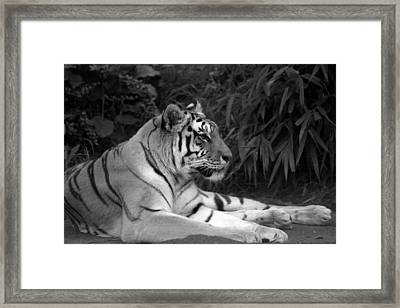 Bengal Tiger Framed Print by Sonja Anderson