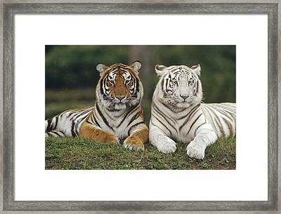 Framed Print featuring the photograph Bengal Tiger Team by Konrad Wothe