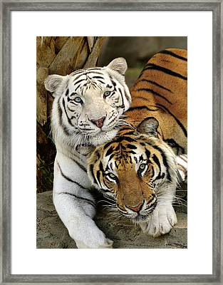 Bengal Tigers At Play Framed Print
