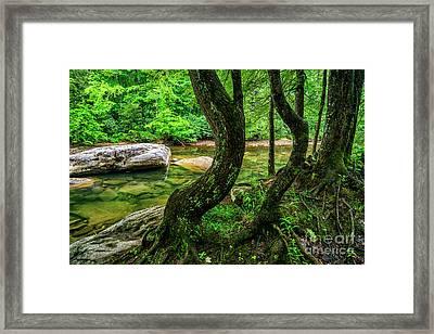 Bent Trees Cranberry River Framed Print by Thomas R Fletcher