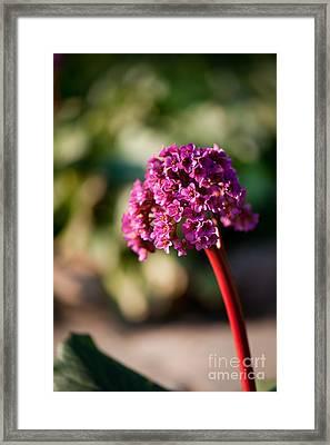 Bergenia Flowering Plant In Spring Framed Print by Arletta Cwalina