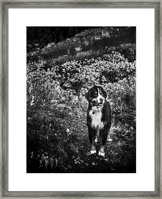 Bernese Mountain Dog Black And White Framed Print