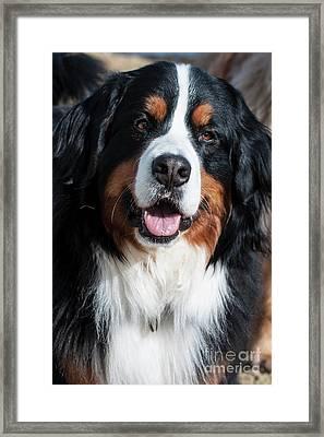 Bernese Mountain Dog Portrait  Framed Print by Gary Whitton