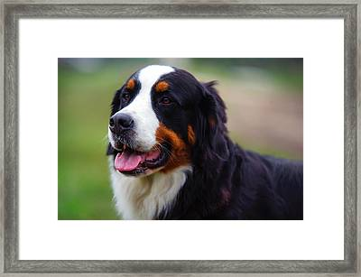 Bernese Mountain Dog Portrait Framed Print by Jenny Rainbow