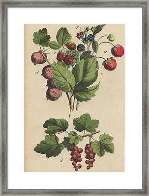 Berries And Currants Framed Print