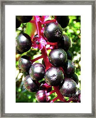 Wild Purple Pokeweed Berries  Framed Print
