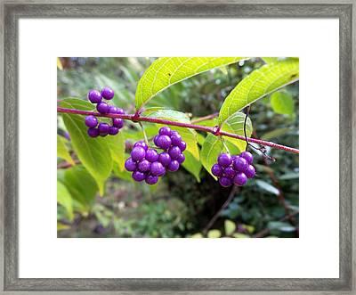 Berries Framed Print by Rosie Brown