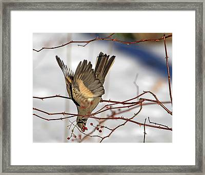 Berry Hard To Reach Framed Print by Donna Kennedy
